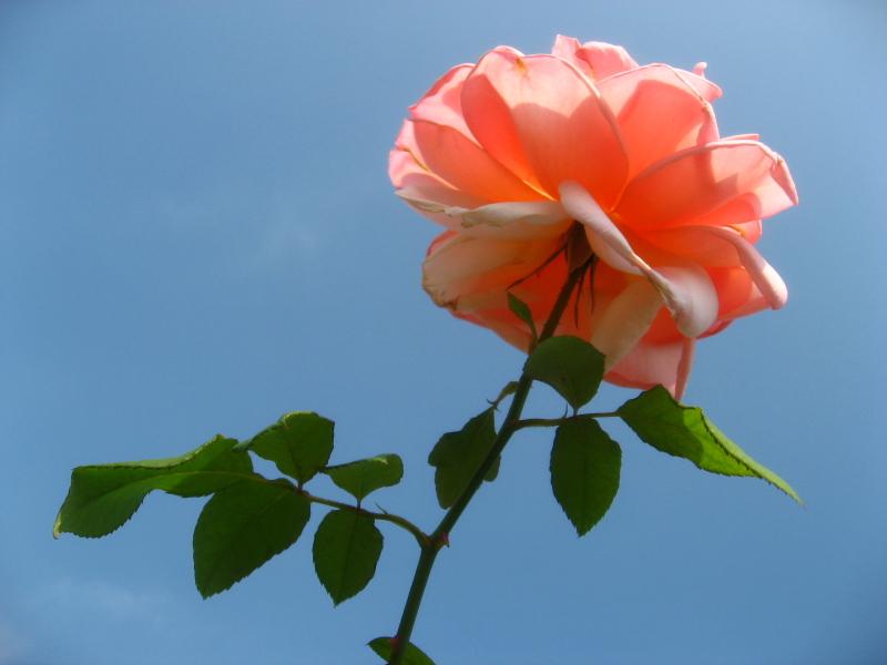 #_0125  〜 Rose 〜