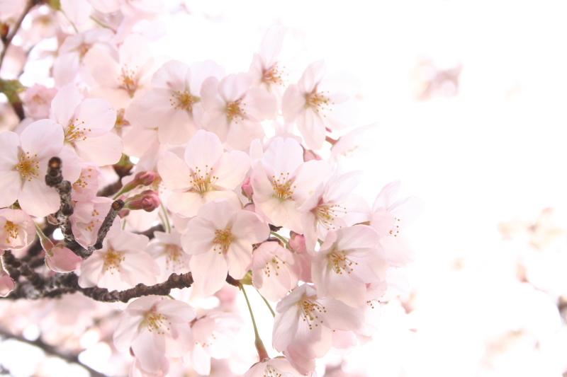 #_0165  〜 SAKURA 〜.